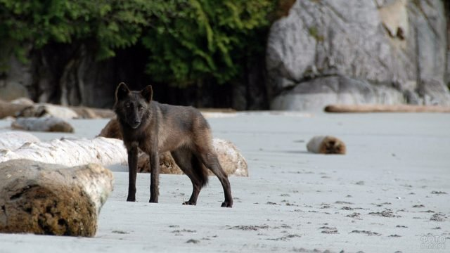 Прибрежный волк Юго-Восточной Аляски
