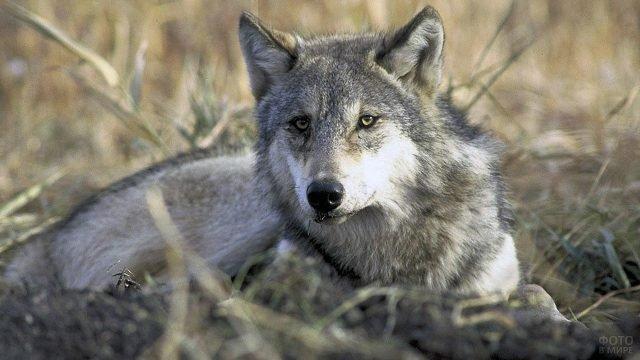 Серый волк лежит на траве в осеннем поле