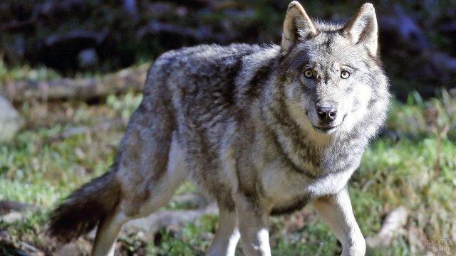 Серый волк смотрит в кадр