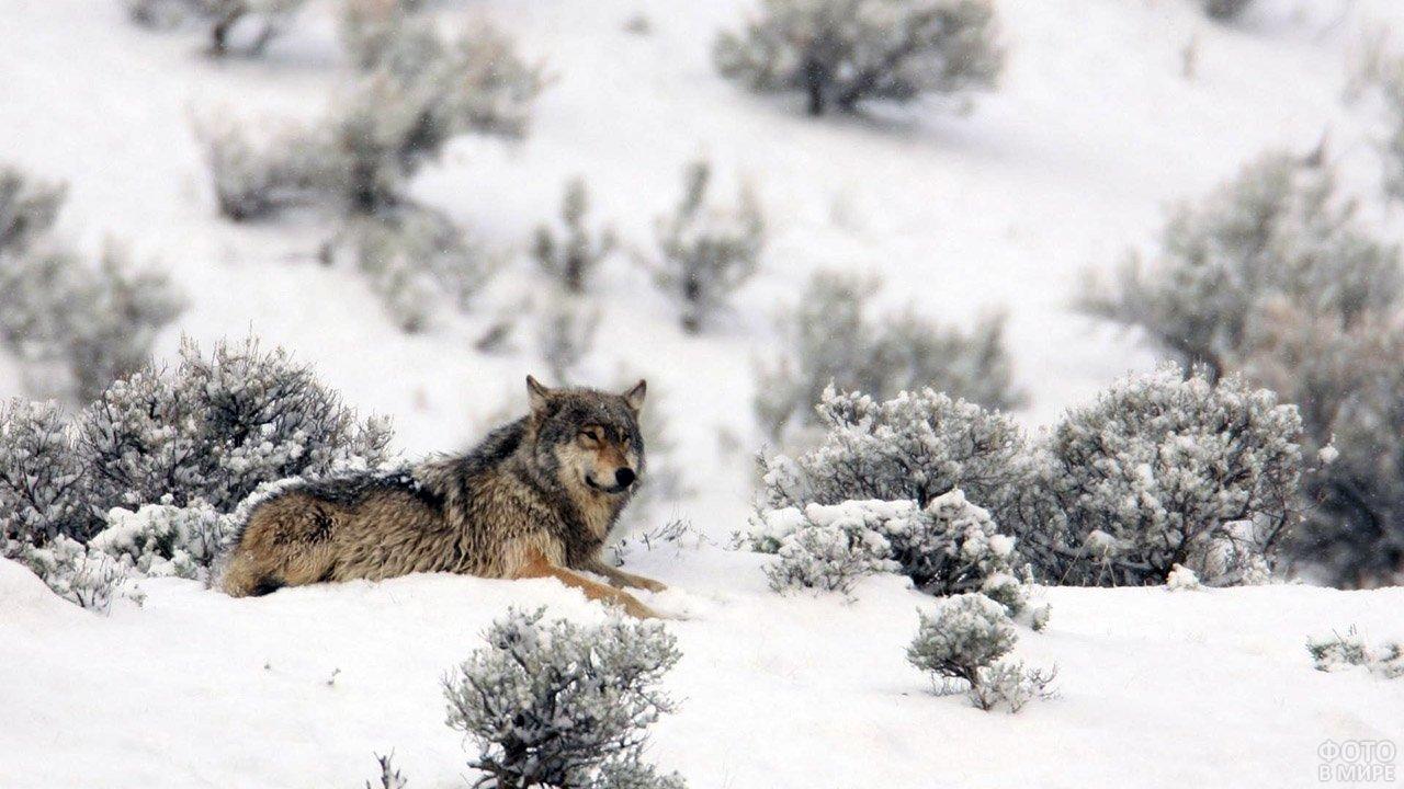Серый волк затаился в заснеженном поле