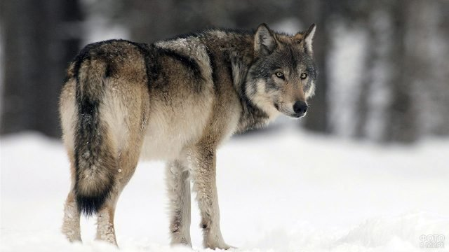 Сибирский лесной волк на фоне сугробов