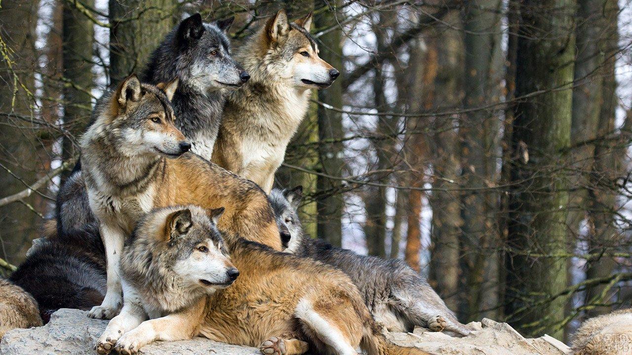 Стая волков сбилась в кучу и смотрит вдаль