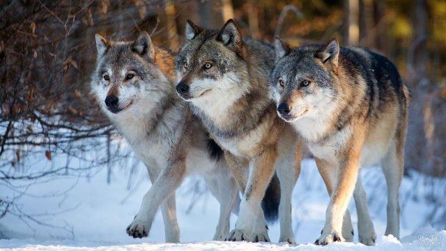 Три волка охотятся в зимнем лесу