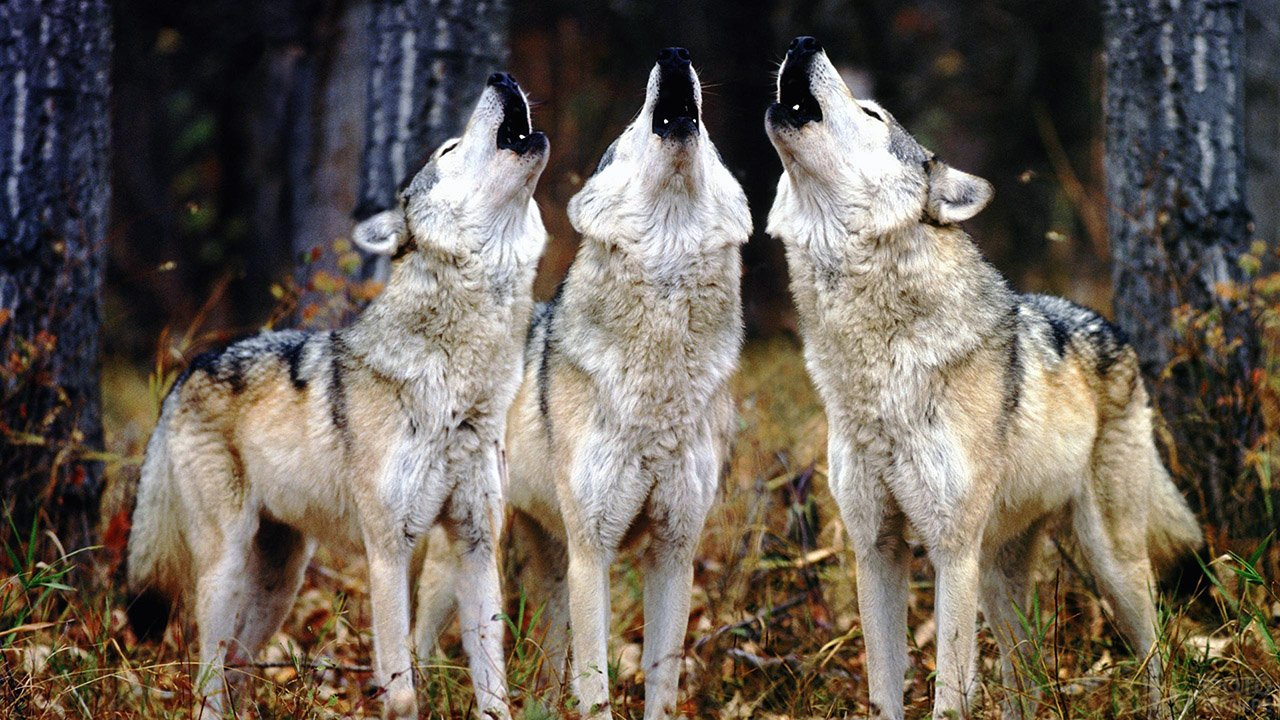Три волка воют в осеннем лесу