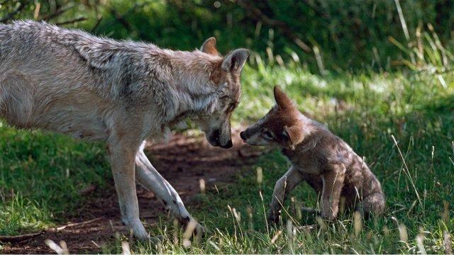 Волчица с волчёнком на фоне зелёной травы