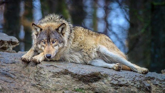 Волк лежит на мокром камне в осеннем лесу