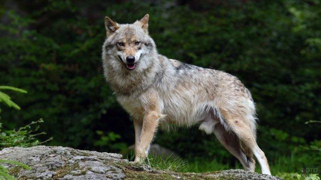 Волк под зелёными деревьями летнего леса