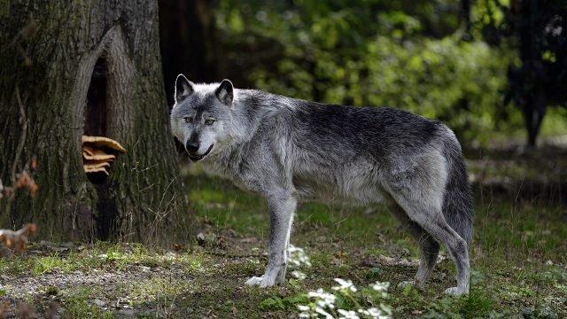 Волк замер под деревом и смотрит в кадр на фоне зелёного леса