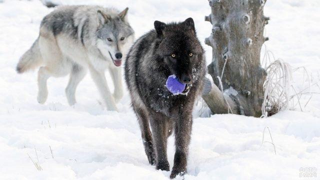 Волки с мячиком в зимнем заповеднике на Аляске