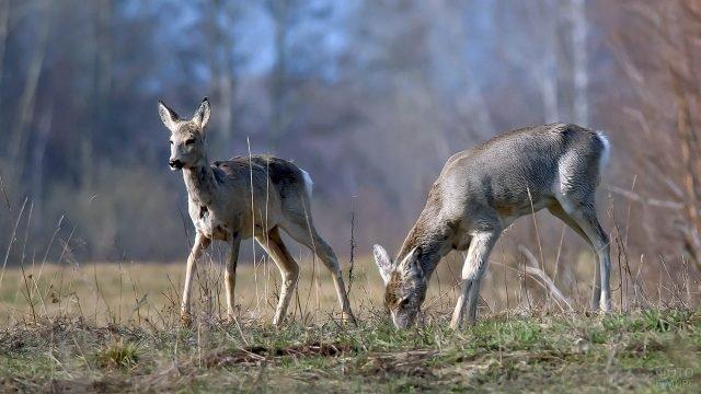Две молодые косули на опушке осеннего леса