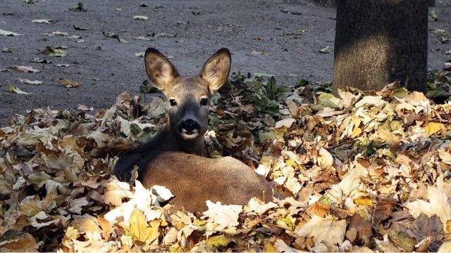 Европейская косуля в осенней кленовой листве под деревом в парке