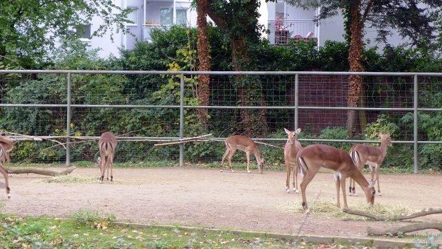 Косули в вольере Кёльнского зоопарка