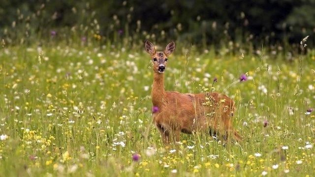 Косуля замерла в высокой траве цветущего поля