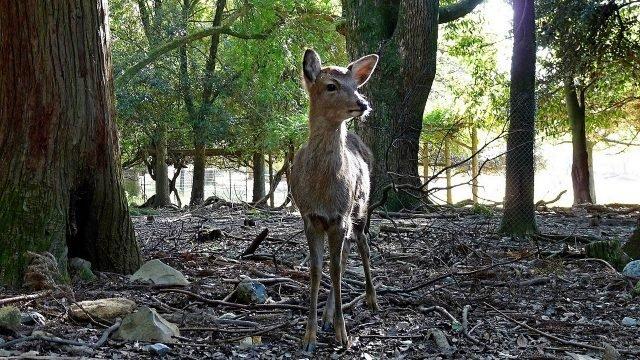 Косулёнок в тени деревьев парка Нара