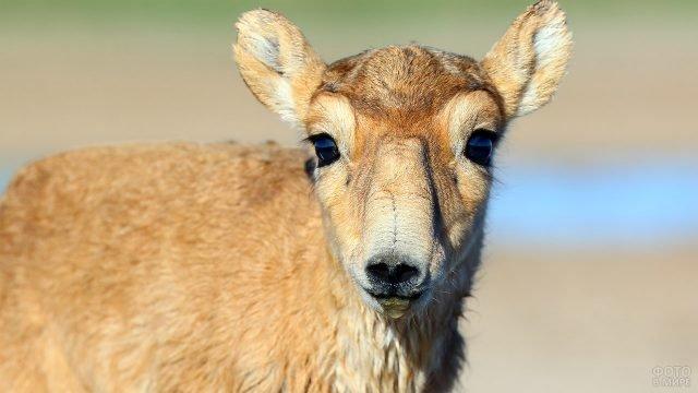 Портрет самки сибирской косули в дикой природе
