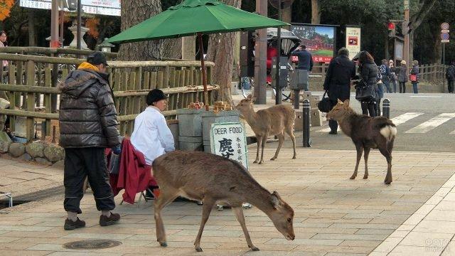 Ручные косули в туристической зоне парка Нара