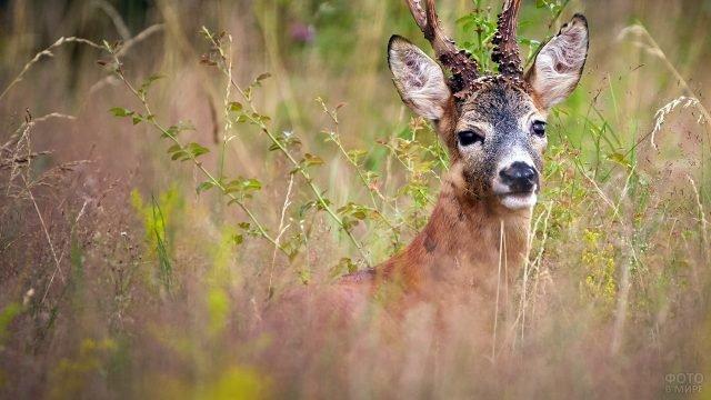 Самец косули смотрит в кадр стоя в высокой осенней траве