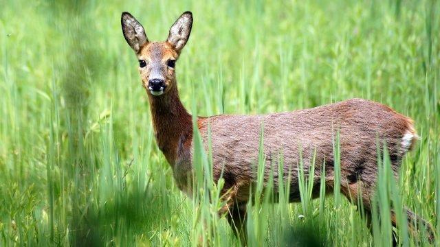 Самка европейской косули в высокой зелёной траве