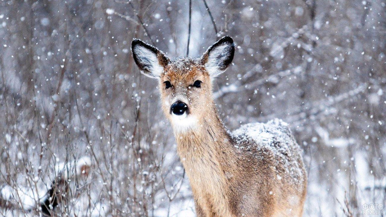 Сибирская косуля во время снегопада в тайге