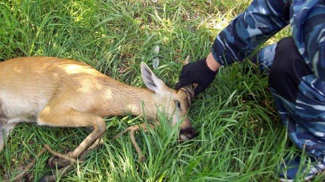 Спасение самки сибирской косули в Волгоградской области
