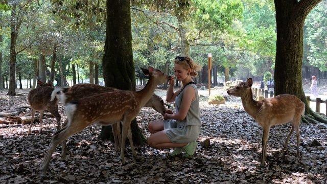 Светловолосая туристка кормит косуль в японском парке Нара
