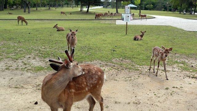 Священные японские косули в парке Нара