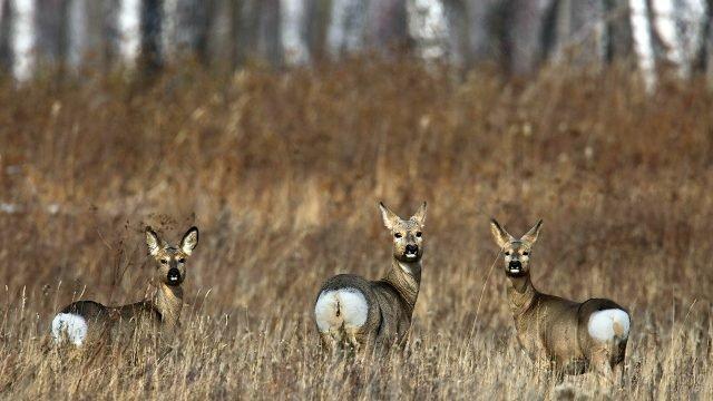 Три косули в осеннем поле