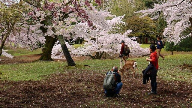 Туристы с ручными косулями в цветущем японском парке Нара