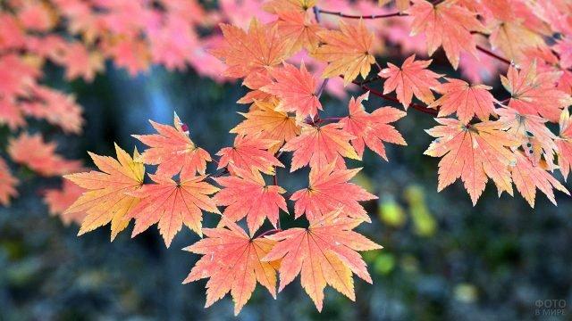 Алые кленовые листья крупным планом