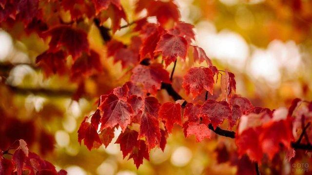 Бордовые листья клёна под дождём