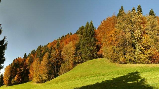Яркие кленовые кроны в смешанном осеннем лесу
