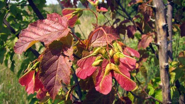 Коричнево-бордовые листья татарского клёна крупным планом