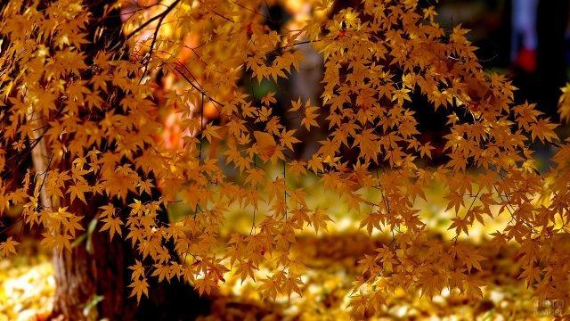 Кружево жёлтых кленовых листьев на ветке крупным планом