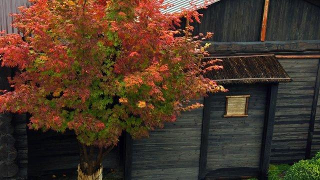 Ложноплатановый клён у деревянного дома на осеннем дачном участке
