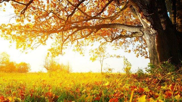 Опавшие листья в траве под раскидистым клёном