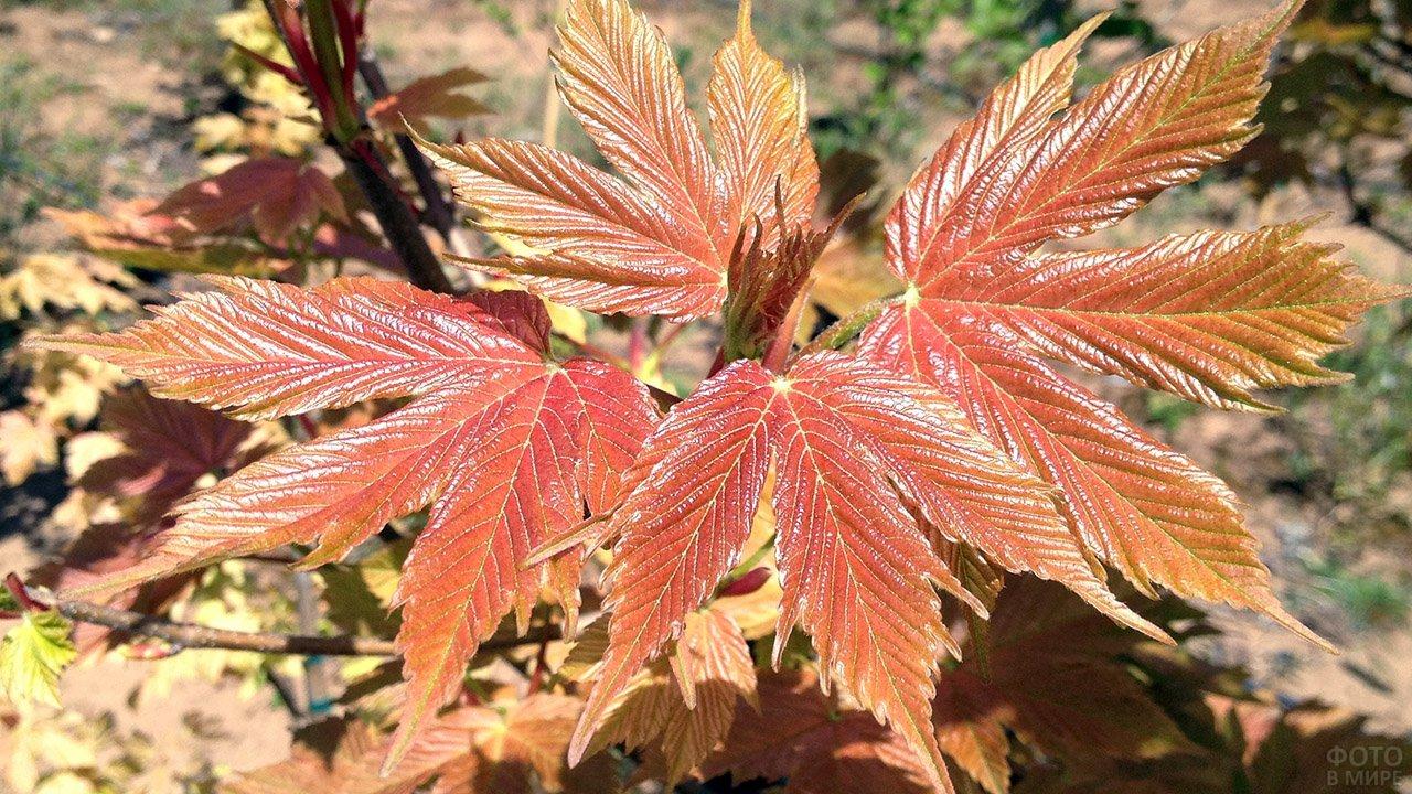 Оранжевые листья ложноплатанового клёна крупным планом