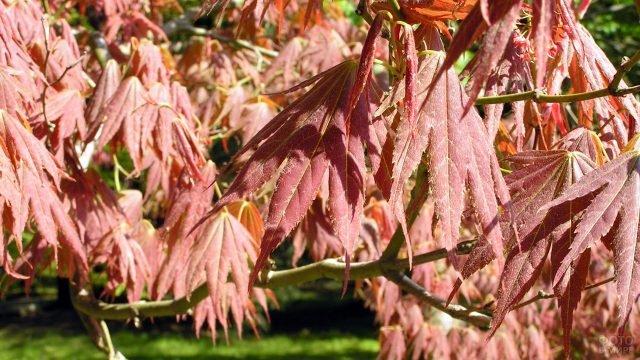 Осенние листья дланевидного клёна сорта Феникс