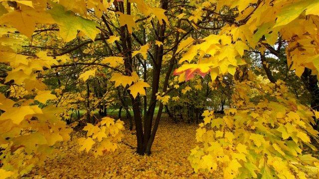 Осенняя крона клёна жёлтого