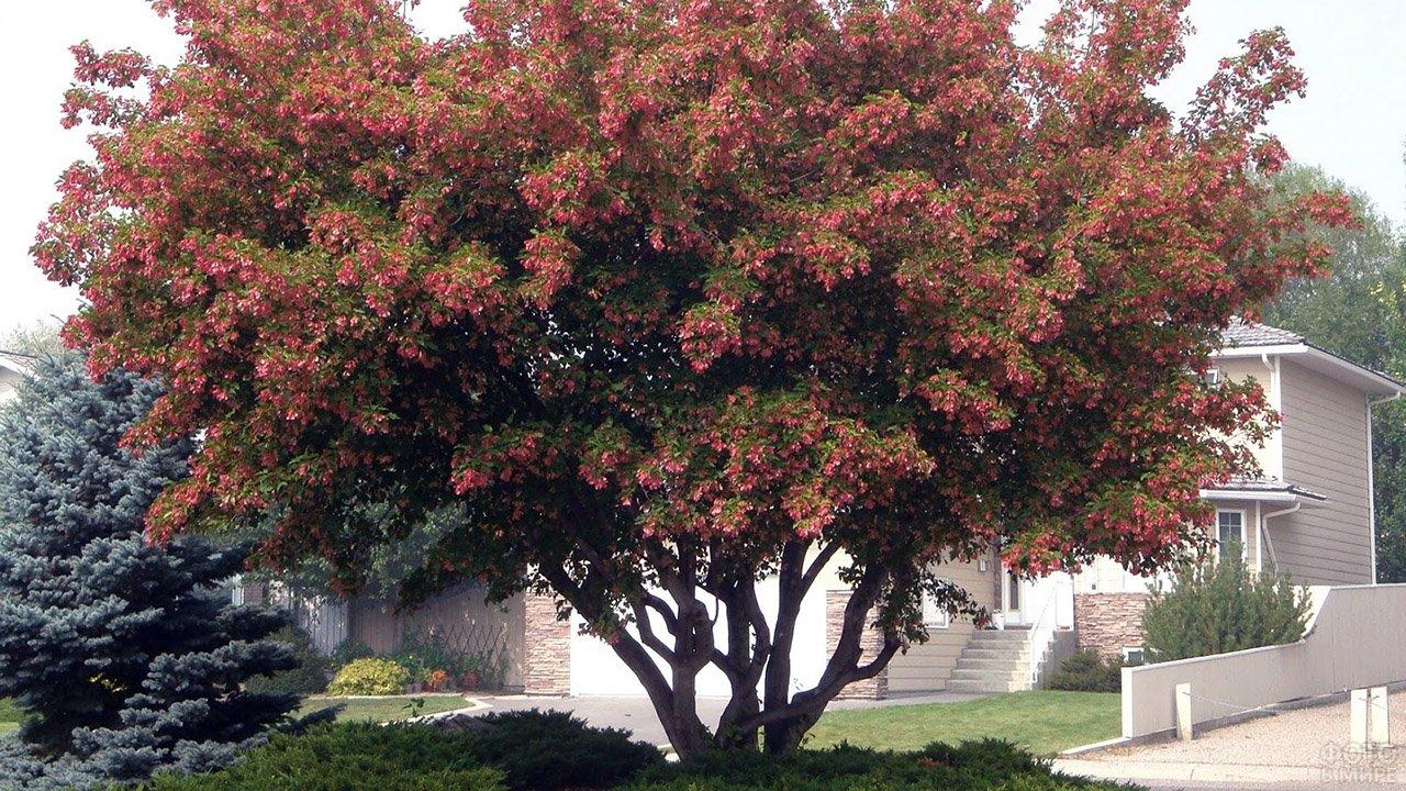 Пёстрая осенняя крона клёна гиннала в ландшафтом дизайне сада