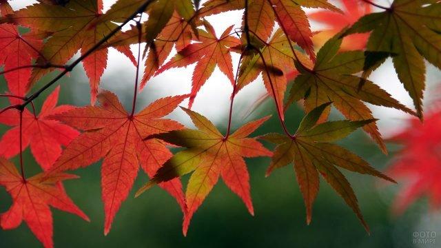 Пёстрые листья осеннего клёна крупным планом