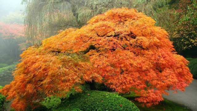 Раскидистый японский клён с яркой листвой в ещё зелёном осеннем саду
