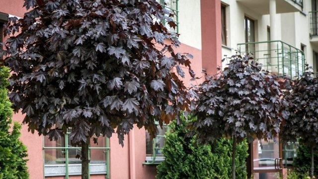Североамериканские черноклёны сорта Роял Ред у фасада здания