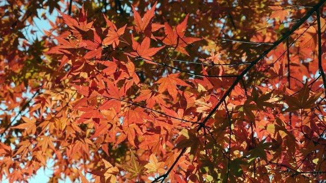 Ветка клёна с красно-оранжевыми листьями