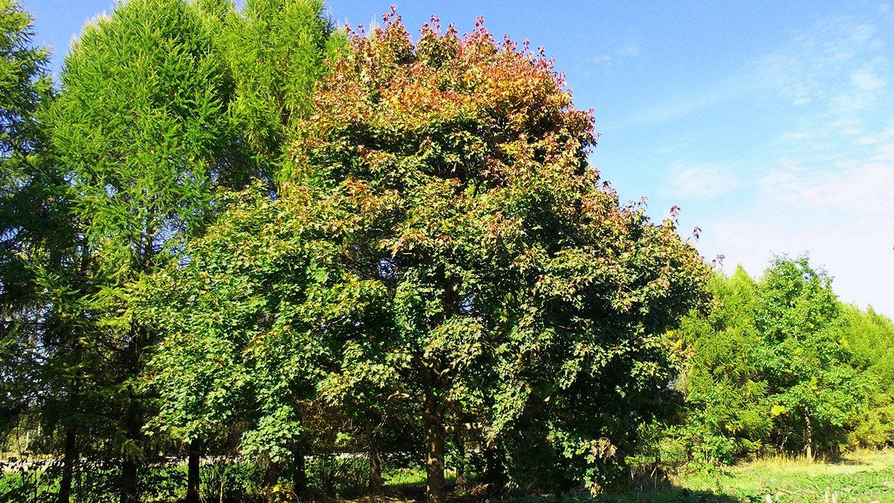 Зазолотившаяся верхушка кроны клёна остролистного ранней осенью