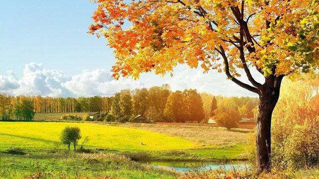 Жёлтый канадский клён на краю площадки для гольфа