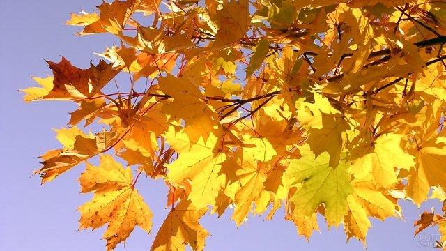 Золотисто-жёлтые кленовые листья на фоне голубого неба