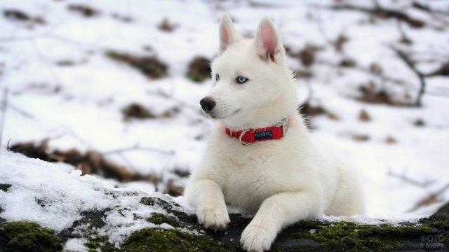 Белый Хаски с красным ошейником в зимнем лесу