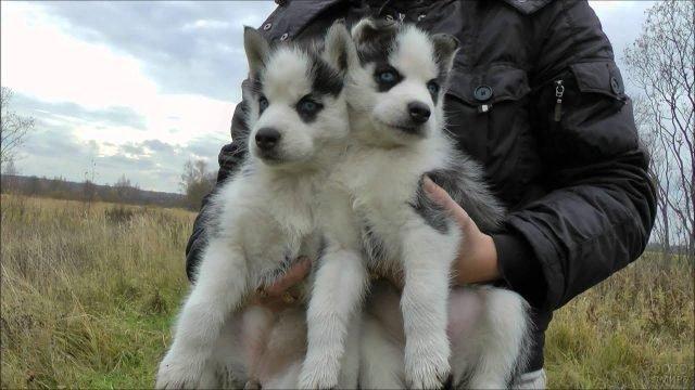 Двое щенков хаски на руках у хозяина