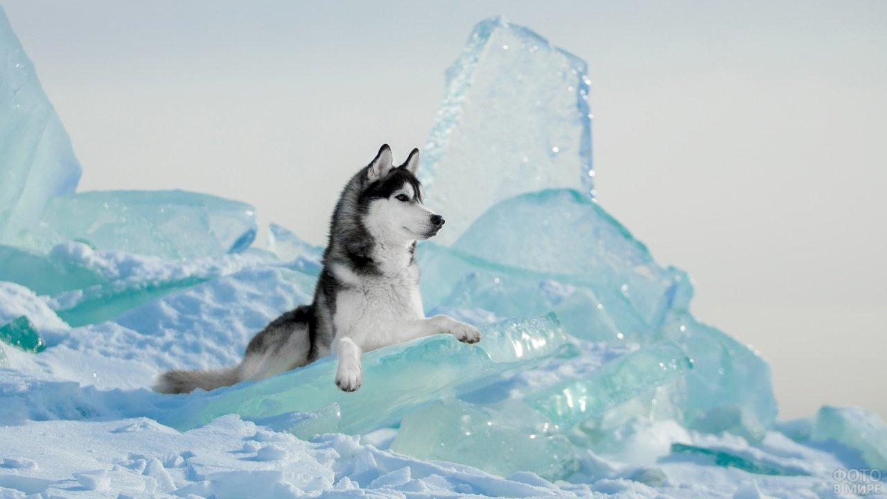 Хаски на льдине
