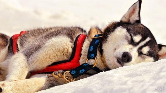 Хаски спит в упряжке